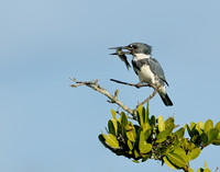 Male Belted Kingfisher (Megaceryle alcyon)