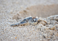 Emerging Green Turtle Baby