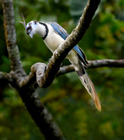 White-throated Magpie Jay  (Calocitta formosa)
