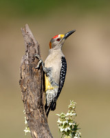 Male Golden-fronted Woodpecker (Toxostoma longirostre)