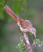 Long-billed Thrasher (Toxostoma longirostre)