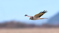 Male Northern Harrier
