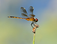 Spotted Pennant