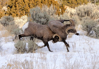 Battling Bighorn Sheep