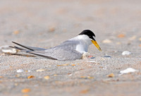 Least Tern With Its Chick