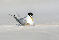 Least Tern And Its Chick