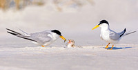 Least Tern Family