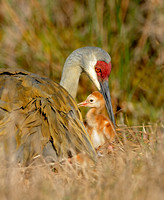 Sandhill Crane With Its Colt (Grus canadensis pratensis)