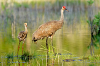 Sandhill Crane With Its Colts (Grus canadensis pratensis)