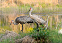 Sandhill Cranes With Their Colts (Grus canadensis pratensis)