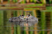 Pied-billed Grebe Chicks