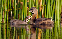 Pied-billed Grebe With Its Chick