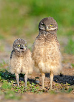 Burrowing Owl Chicks (Athene cunicularia)