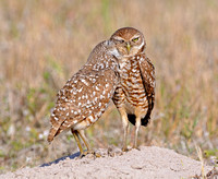 Burrowing Owls (Athene cunicularia)