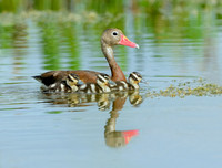 Black-bellied Whistling Duck Family (Dendrocygna autumnalis)