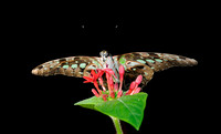 Tailed Jay Butterfly (C)