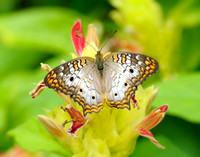 White Peacock Butterfly (C)