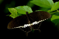 Common Mormon Swallowtail (C)