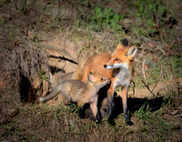 Female Red Fox With Her Kits