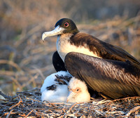 Magnificent Frigatebird With Its Chick (Fregata magnificens)