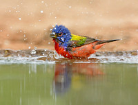 Male Painted Bunting (Passerina ciris)