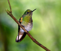 Female Buff tailed Coronet (Boissonneaua flavescens)