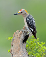 Male Golden Fronted Woodpecker (Melanerpes aurifrons)