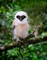 Spectacled Owl Chick (Pulsatrix perspicillata)