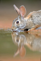 Bunny at the Waterhole