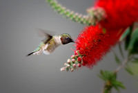 Male Ruby Throated Hummingbird (Archilochus colubris)
