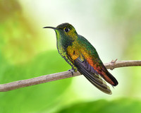 Coppery-headed Emerald Hummingbird (Elvira cupreiceps)