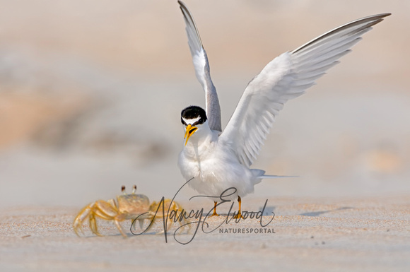 Least Tern Challenging A Ghost Crab