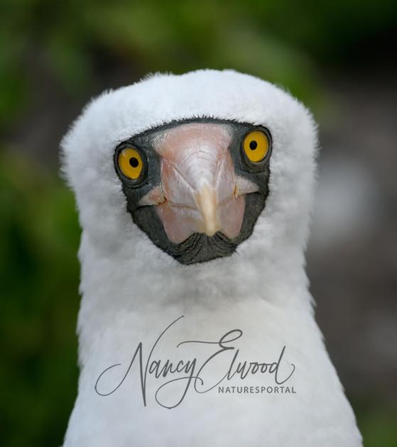 Taliabu masked owl  Wikipedia