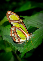 Malachite Butterfly (C)