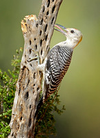 Juvenile Male Golden-fronted Woodpecker (Melanerpes aurifrons)